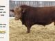 super-guppie-bull-for-sale-red-angus-gelbvieh-2395_8362