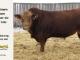 super-guppie-bull-for-sale-red-angus-gelbvieh-2395_8364