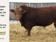 super-guppie-bull-for-sale-red-angus-gelbvieh-2395_8365