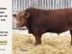 super-guppie-bull-for-sale-red-angus-gelbvieh-2395_8378