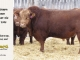 super-guppie-bull-for-sale-red-angus-gelbvieh-2395_8379