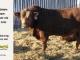 super-guppie-bull-for-sale-red-angus-gelbvieh-2395_8866