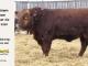 super-guppie-bull-for-sale-red-angus-gelbvieh-2420_8380