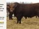 super-guppie-bull-for-sale-red-angus-gelbvieh-2445_8326