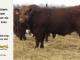 super-guppie-bull-for-sale-red-angus-gelbvieh-2445_8327