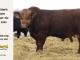 super-guppie-bull-for-sale-red-angus-gelbvieh-2445_8329