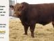 super-guppie-bull-for-sale-red-angus-gelbvieh-2445_8348