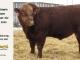 super-guppie-bull-for-sale-red-angus-gelbvieh-2445_8349