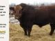 super-guppie-bull-for-sale-red-angus-gelbvieh-2457_8331