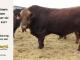 super-guppie-bull-for-sale-red-angus-gelbvieh-2457_8355