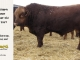 super-guppie-bull-for-sale-red-angus-gelbvieh-2457_8356