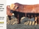 super-guppie-bull-for-sale-red-angus-gelbvieh-2457_8861