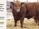 super-guppie-bull-for-sale-red-angus-gelbvieh-2554_8344