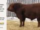 super-guppie-bull-for-sale-red-angus-gelbvieh-2554_8375