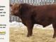 super-guppie-bull-for-sale-red-angus-gelbvieh-2554_8376