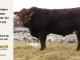 super-guppie-bull-for-sale-red-angus-gelbvieh-582_8384