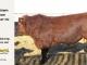 super-guppie-bull-for-sale-red-angus-gelbvieh-----_8860