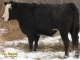 Black Angus x Simmental Bred Heifers for Sale in Alberta