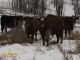 Red Angus x Simmental and Black Angus x Gelbvieh Bred Hefiers for Sale in Alberta