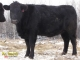 Black Angus x Gelbvieh Bred Heifers for Sale in Alberta