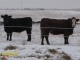 Black Angus x Gelbvieh and Red Angus x Simmental Bred Heifers for Sale in Alberta