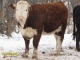 Hereford Bred Heifers for Sale in Alberta
