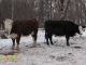 Hereford x Simmental and Black Angus x Simmental Bred Heifers for Sale in Alberta