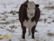 Hereford x Simmental Bred Heifers for Sale in Alberta