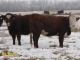 Hereford x Simmental and Red Angus x Simmental Bred Heifers for Sale in Alberta