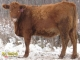 Red Angus x Gelbvieh Bred Heifers for Sale in Alberta