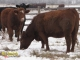 Red Angus x Gelbvieh and Red Angus x Simmental Bred Heifers for Sale in Alberta