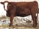 Red Angus x Simmental Bred Heifers for Sale in Alberta
