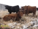 Red Angus x Simmental and Red Angus x Gelbvieh Bred Heifers for Sale in Alberta