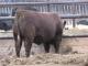 RA-bunk-bull