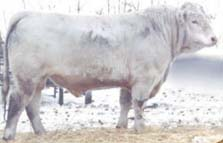 Charolias Bull