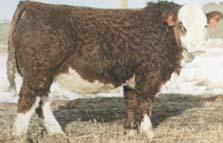 H-2 Bull