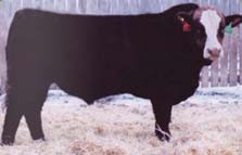 Super Baldie Bull