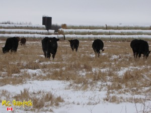 black angus x simmental bred heifers