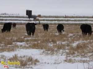 black angus x simmental bred heifers