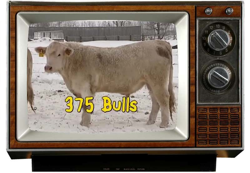 MC Quantock Superbowl Ad Charolais Bull Sale