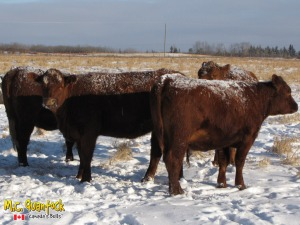 red angus x gelbvieh bred heifers