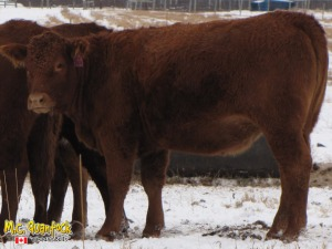 red angus x gelbvieh bred heifers
