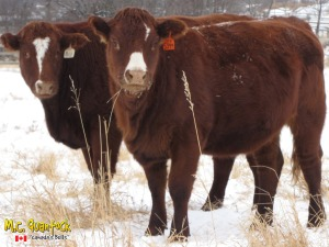 red angus x simmental bred heifers