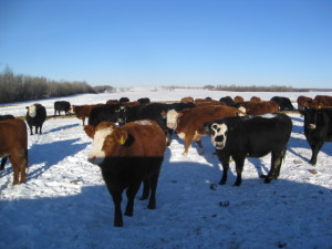 Tellier Heifers Cows For Sale Bonnyville Alberta